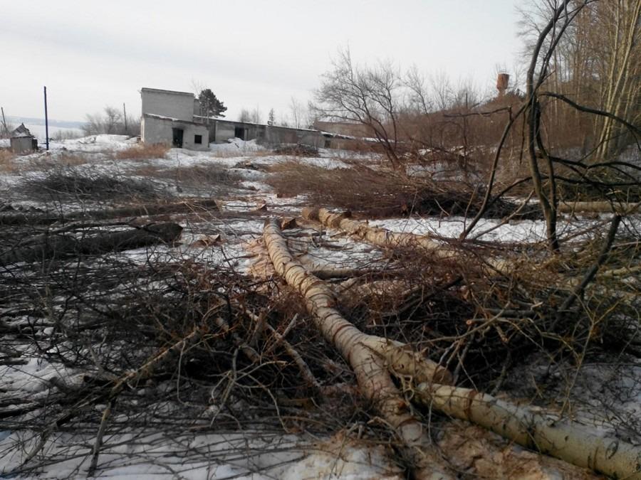 в Винновке вырубили более 100 деревьев 3