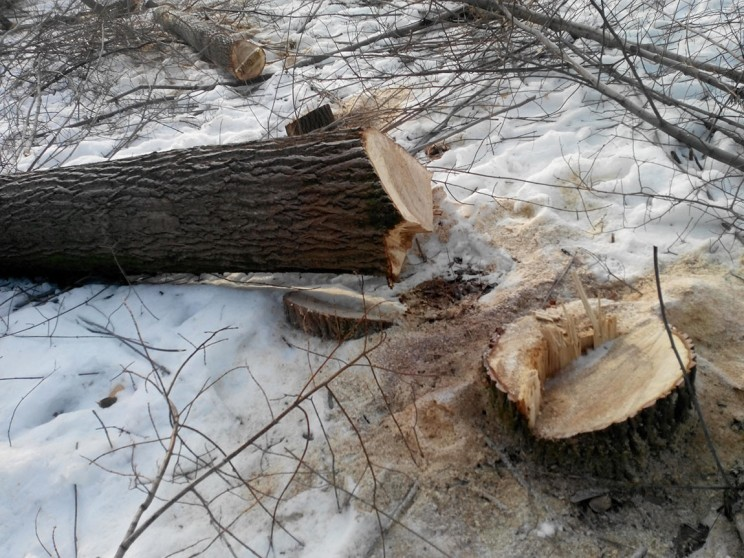 в Винновке вырубили более 100 деревьев 4