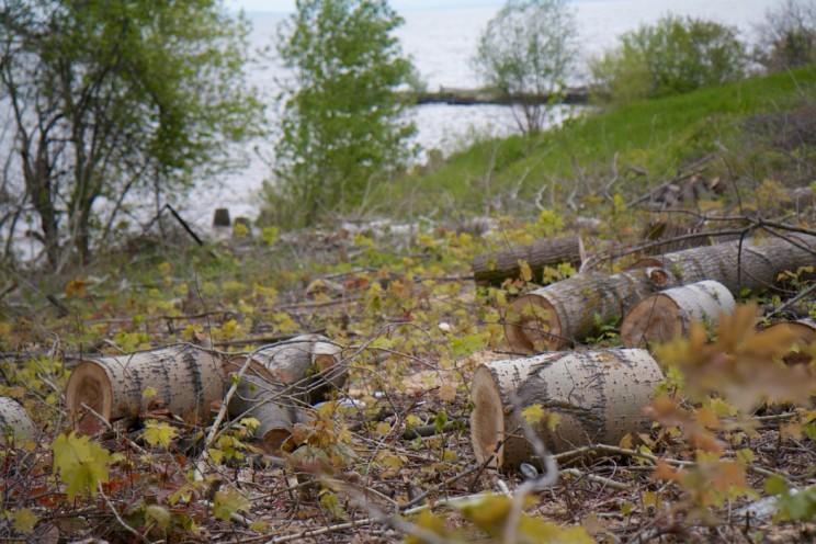 От 50-летних тополей остались одни пеньки.