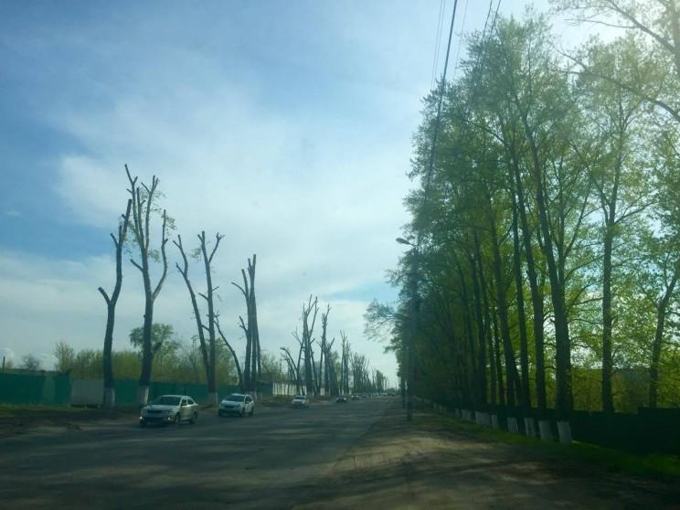 """Разительный контраст между """"омоложенными"""" и нетронутыми администрацией деревьями на Нижней террасе."""