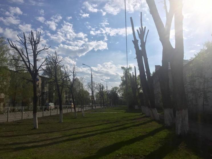 обрезанные липы в Железнодорожном районе, май 2016 - 1