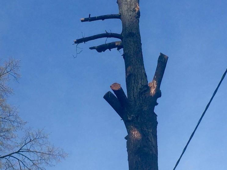 Спилы на обрезанных деревьях должны были обработать специальными составами.