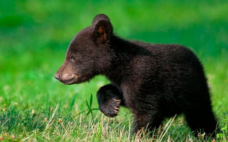Медвежонок-подросток из Чувашии случайно забрел в Ульяновск