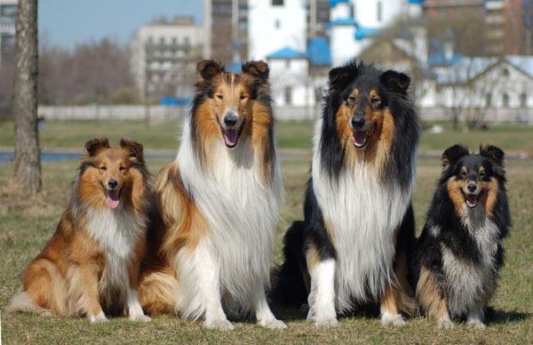 шелти собаки